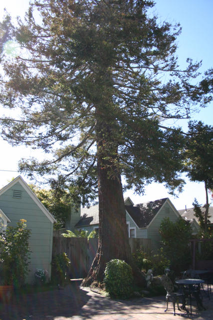 centrella cottage redwood tree